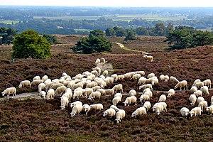 Lemele - A flock of sheep in Archemerberg, near Lemele