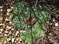 Arctopus monacanthus Gifberg 01.jpg