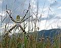 Argiope bruennichi (Female).jpg