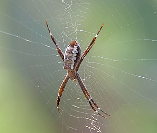 <i>Argiope radon</i> Species of spider