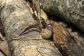 Aristolochia ringens.jpg