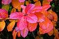 Aronia leaves on a rainy autumn day in Tuntorp 11.jpg