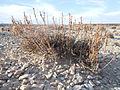 Artemisia pygmaea — Matt Lavin 004.jpg