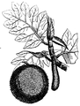 Artocarpus-drawing-fruit-leaf.png