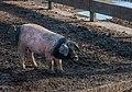 Ascain - Cerdo pie negro País Vasco -BT- 01.jpg