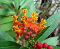 Asclepias with ants.jpg