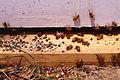Ascosphaera apis (Maasen ex Claussen) L.S. Olive & Spiltoir 1324048.jpg