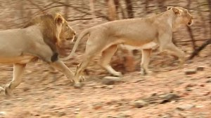 File:Asiatic Lion Mating 01.ogv