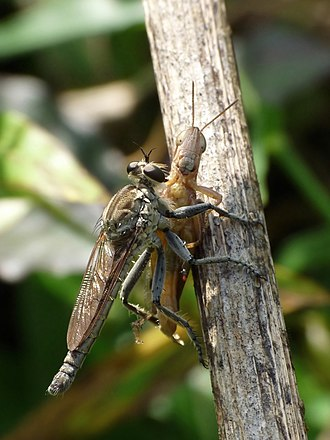 Asilidae - A member of the Asilidae feeding on a grasshopper. This Asilid shows the mystax and ocular fringe typical of the Asilidae, with short, stout proboscis and spiny, powerful legs, adapted to the capture of prey in flight.