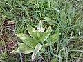 Asparagales - Allium ursinum - 003.jpg