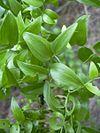 Asparagus asparagoides leaves