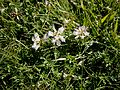 Astragalus alpinus 001.jpg