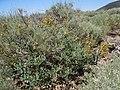 Astragalus curvicarpus (5036270875).jpg