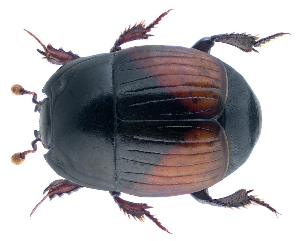 Atholus bimaculatus (Linnaeus, 1758)