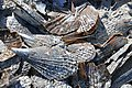 Atrina pen shell bivalves on marine shoreline (Algiers Beach, Sanibel Island, Florida, USA) 7.jpg