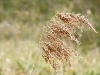 Anstey Hill Recreation Park - Native Austrostipa nodosa (spear grass) dried at the start of summer