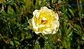 Autumn roses, Botanic Gardens, Belfast (3) - geograph.org.uk - 984833.jpg