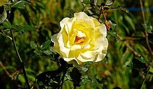 Rosa 'Elina' - Image: Autumn roses, Botanic Gardens, Belfast (3) geograph.org.uk 984833