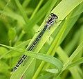 Azure bluet female. Coenagrion puella (2) (44078512270).jpg