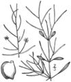BB-0199 Potamogeton lateralis.png