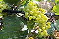 BUNCH WINE GRAPES green close up (48986222083).jpg