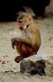 Baboon cuty.jpg
