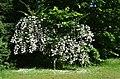 Bad Homburg, Kurpark, Kolkwitzia amabilis.JPG