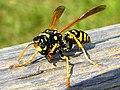 Badass wasp.jpg