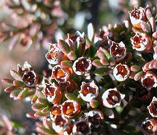 <i>Baeckea gunniana</i> Species of flowering plant