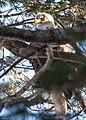 Bald Eagle (39415117914).jpg