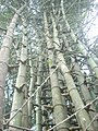 Bamboo 004.jpg