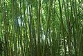 Bambous - Arboretum Allard.jpg