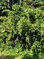 Bambus multip 160518-0085 stgd.JPG