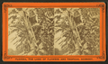 Banana trees, from Robert N. Dennis collection of stereoscopic views 3.png
