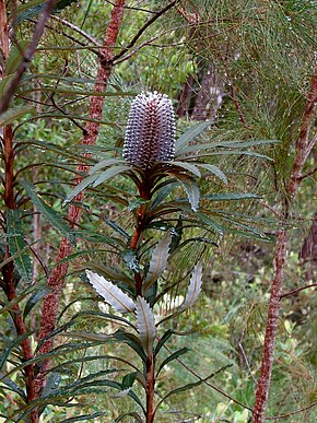 alt=Description de l'image Banksia plagiocarpa HI.jpg.