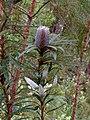 Banksia plagiocarpa HI.jpg