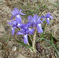 Barbary Nut, Gynandriris sisyrinchium. - Flickr - gailhampshire.jpg