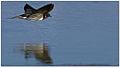 Barn Swallow (Hirundo rustica) in flight by Dharani Prakash.jpg