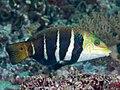 Barred thicklip (Hemigymnus fasciatus) (43642258902).jpg