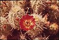 Barrel cactus. Hovenweep National Monument, 05-1972. (6919663366).jpg
