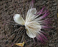 Barringtonia asiatica, Sea Poison Flower. (13883678618).jpg