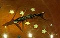 Bathypterois grallator 1.jpg