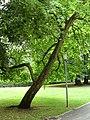 Baum im Farwickpark - panoramio (3).jpg