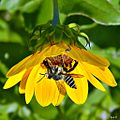 Beach Sunflower & Leafcutter Bee (6011260804).jpg