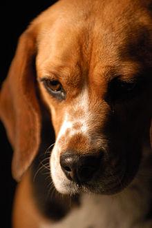 Beagle Dog For Sale In Chennai