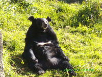 Bear in G B Pant High Altitude Zoo,Nainital.jpg