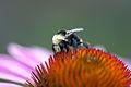 Bee (6157942922).jpg