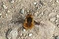 Bee fly resting a-flutter (RL) (17260965326).jpg