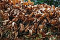 Beech hedge in winter at Nuthurst, West Sussex, England 02.jpg