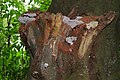 Beech tree with brown spores of Ganoderma lipsiense Syn. Ganoderma applanatum (Artist's Bracket or Artist's Conk, D= Flacher Lackporling, F= Polypore aplani, NL= Platte tonderzwam) at Lichtenbeek Schaarsbergen-Oosterbee - panoramio.jpg